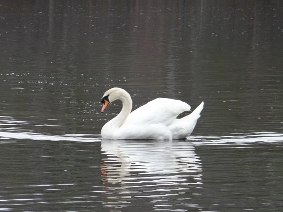 Marlborough, MA: View of a swan from a booth overlooking Hager Pond, I believe.