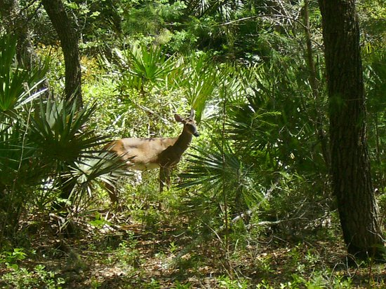 Wekiwa Springs State Park: This deer was very near me when I took this picture.