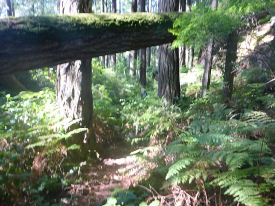 Gibsons, Kanada: The trail through an impressive stand of mainly Douglas Fir trees.