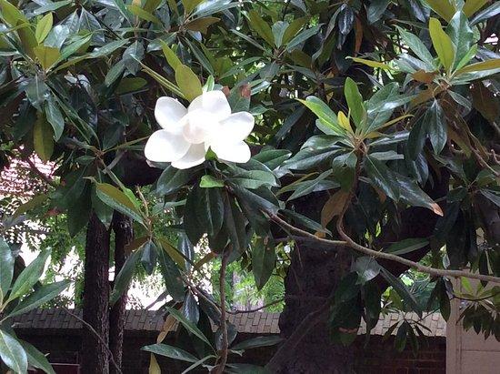 Mount Vernon, Βιρτζίνια: Magnificent magnolias