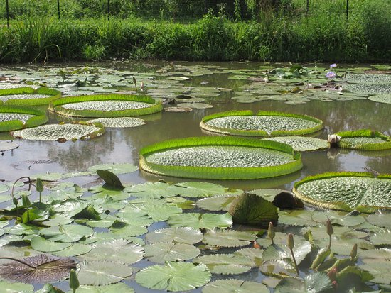 Wonderful water lily victoria - Picture of Kenilworth Park and ...