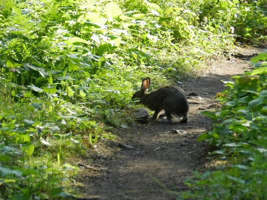 Stoll Trail to Scoville Point. Rabbit leading my way