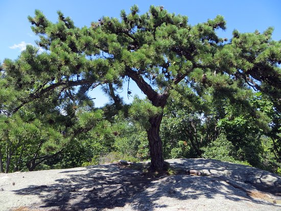 Κορνουάλη, Νέα Υόρκη: Tree growing out of rock represents highest elevation in park atover 1,460' (Spy Rock)