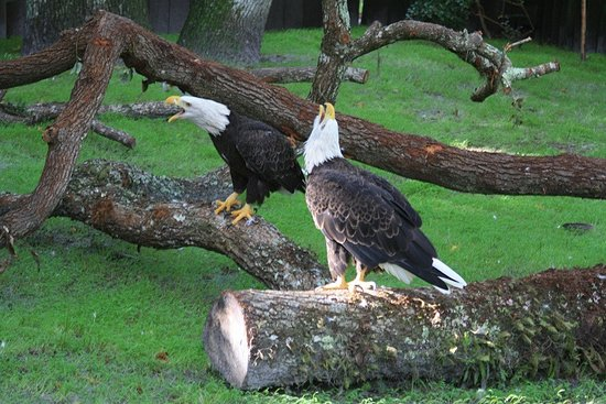 Homosassa Springs, FL: Eagles