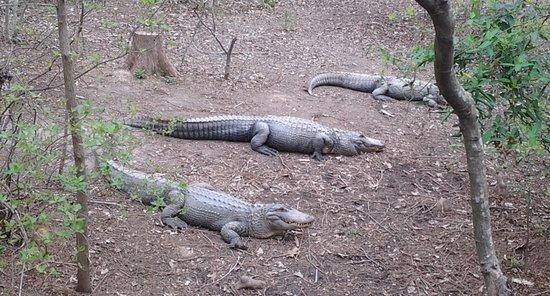 North Carolina Zoo: Gators