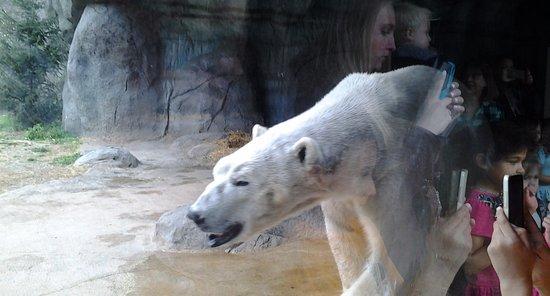 North Carolina Zoo: Polar bears