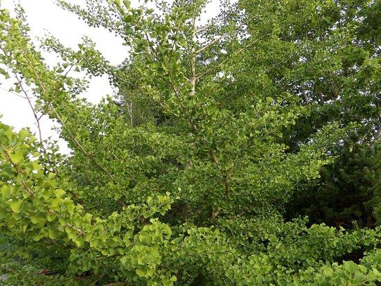 Saint Andrews, Canada: Kingsbrae Garden, Ginkgo Tree