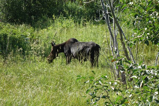 วิลสัน, ไวโอมิง: Moose Mom with calf nearby in Grand Tetons