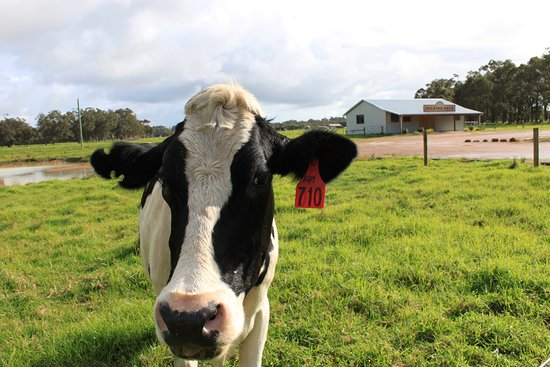 "Cowaramup, Australia: Our Moovie Star ""Precious"""