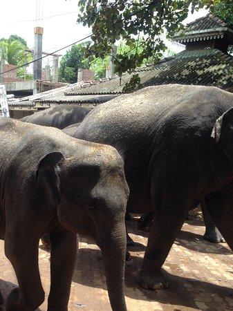 Pinnawala, Sri Lanka: Elephant orphanage