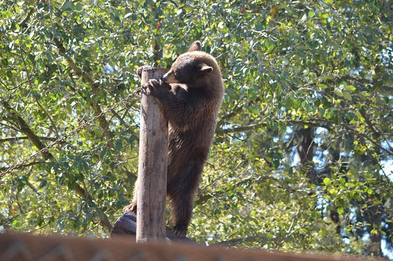 West Coast Game Park Safari: Bear playing on pole