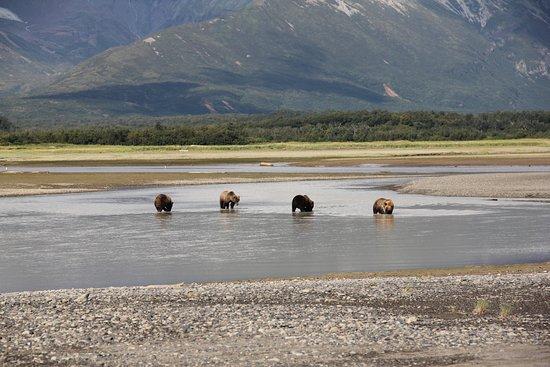 Alaska Bear Adventures: Mom and 3 cubs, Hallo Bay