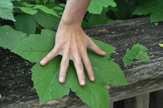 Nisqually National Wildlife Refuge: My sons hand , we couldn't believe how big the leaf was