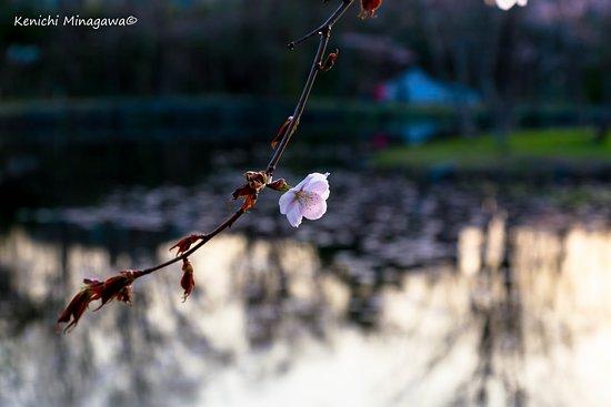 Iwamizawa, Japón: エゾ山桜