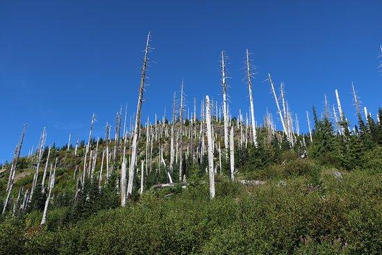 Amboy, Waszyngton: Dead trees from the 1980 eruption on Windy Ridge
