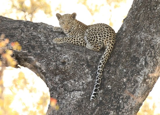 Londolozi Private Game Reserve, Afrika Selatan: Leopards at Londolozi