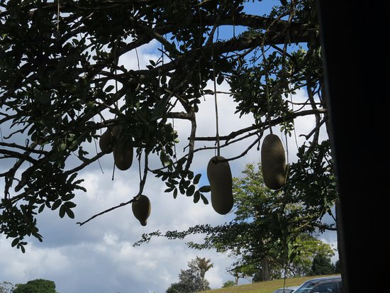Big Pineapple: Sausage tree in the gardens
