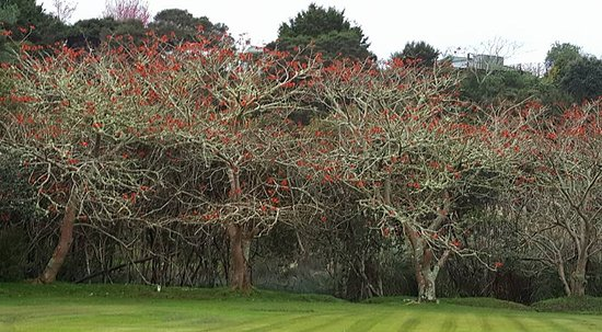 Paihia, Yeni Zelanda: Flame trees full of tui's