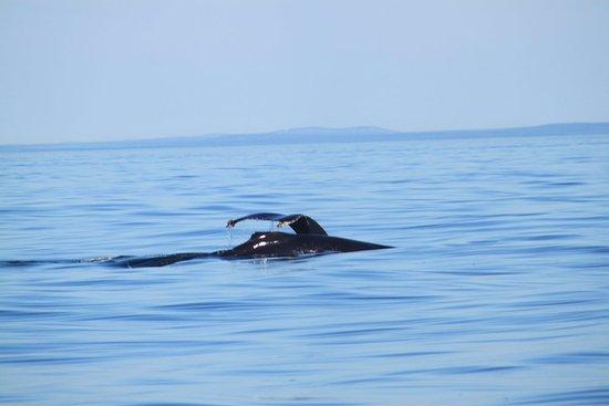 Edmonds, Вашингтон: Humpback and calf diving