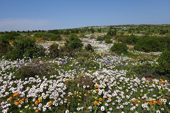 Yzerfontein, Sudáfrica: Spring flowers Westcoast National Park