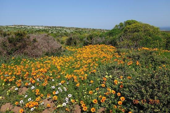 Yzerfontein, แอฟริกาใต้: Spring flowers Westcoast National Park
