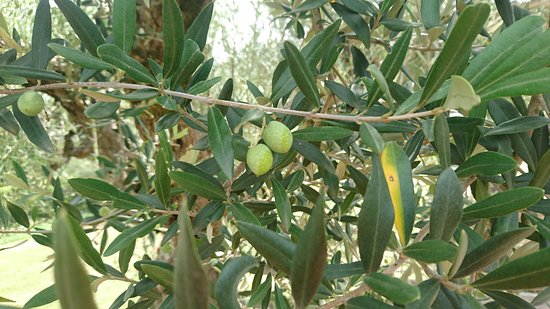 Montelaguardia, Italien: Olive trees in the garden