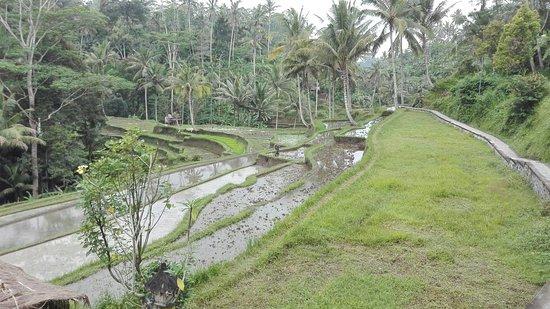 Tegalalang, Indonesia: IMG_20160815_105446_large.jpg