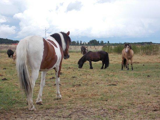 Aspach-le-Bas, ฝรั่งเศส: Les poneys paissant