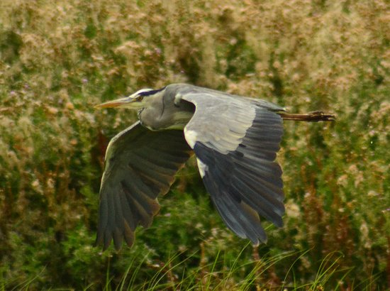 Purfleet, UK: Grey Heron at Rainham marshes