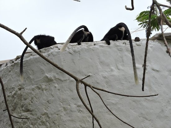 Diani Beachalets: colobus enjoying a drink at our water tanks