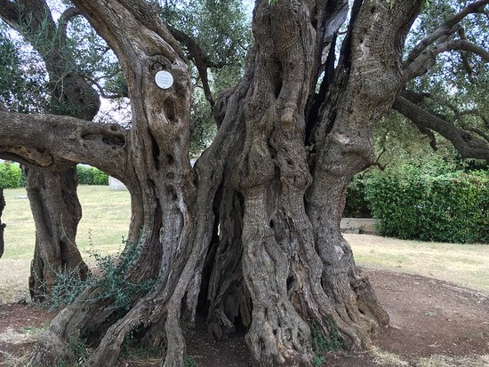 Kastel Stafilic, Croazia: Mastrinka - Old Olive Tree