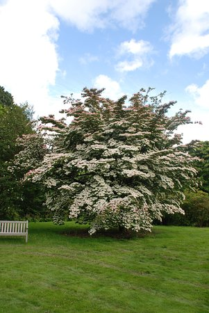 Haywards Heath, UK: Cornus in fioritura