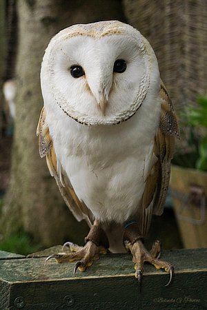 Bonnyrigg, UK: Marley The Barn Owl