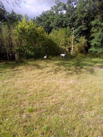 Hofgeismar, Tyskland: белые олени
