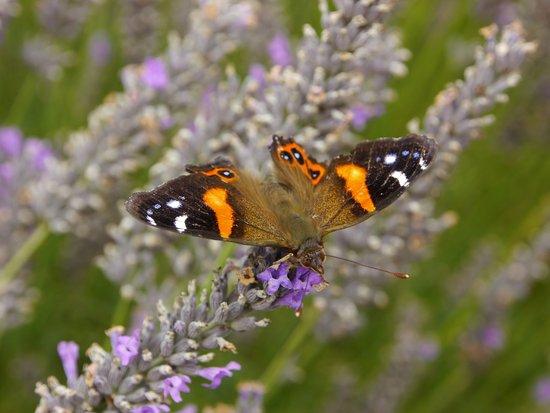 Kaikoura, Nueva Zelanda: butterfly