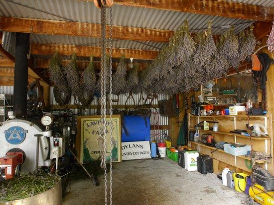 Kaikoura, Nueva Zelanda: drying the lavender