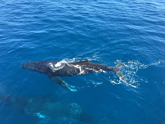 Urangan, Australien: Couple of Humpbacks swimming around the boat.