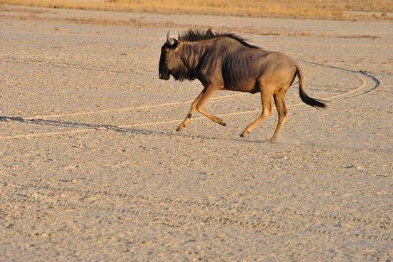 Nata, Botsuana: gnu che corrono sulle saline asciutte