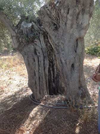 Moncarapacho, Portugal: An Olive Tree over 1000 years old!