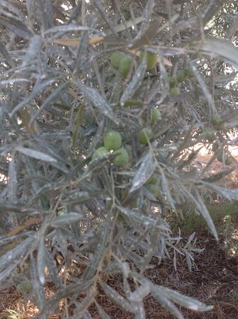Moncarapacho, Portugal: Some olives just a few weeks before harvesting.