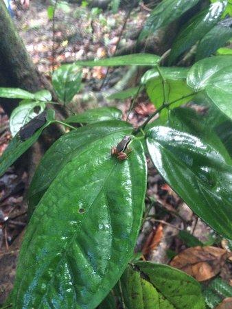 Carate, Kosta Rika: Raganella Velenosa