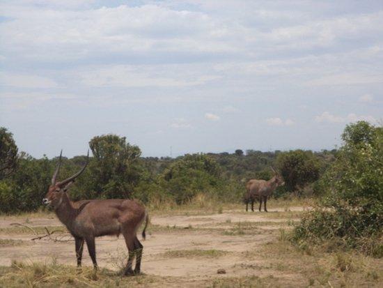 Kasese, Uganda: The Uganda Cob
