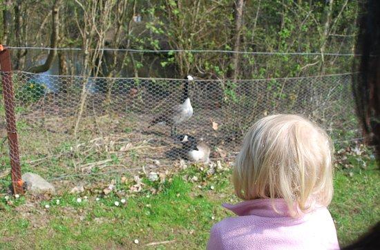 Kalundborg, Danemark : Geese