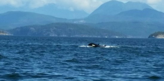 Orca's campbell river_large.jpg