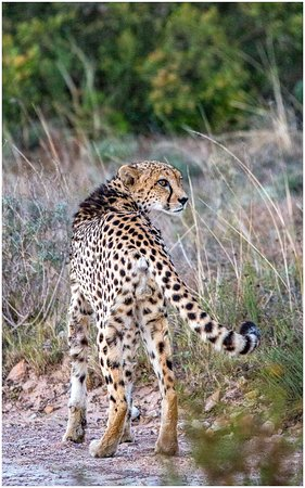 Kichaka Luxury Game Lodge: Cheetah seen early morning
