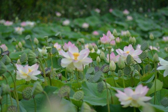 Saint-Cyr-en-Talmondais, Frankreich: le lac des lotus est à voir
