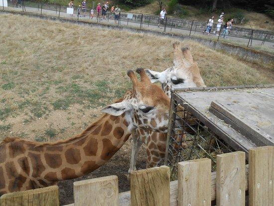 Ardeche, Frankrike: les girafes
