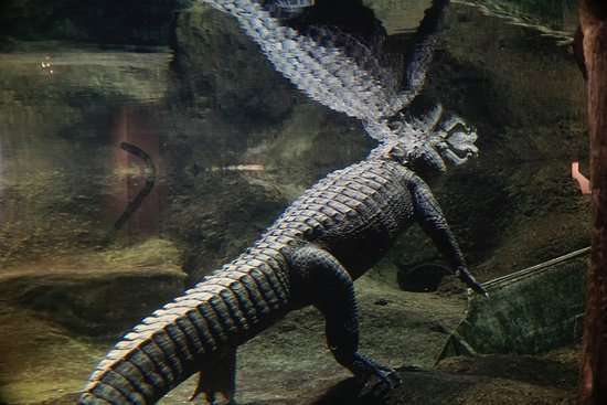 Dubuque, IA: An exhibit, yes, but it's a live alligator.