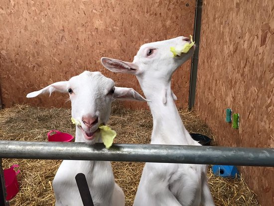 Calne, UK : Our Baby Goats - Prince and Penny