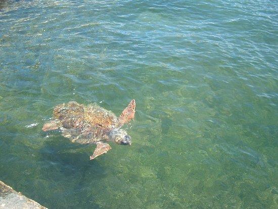 The Magnolia Resort: Loggerhead turtles at Agostoli harbour.